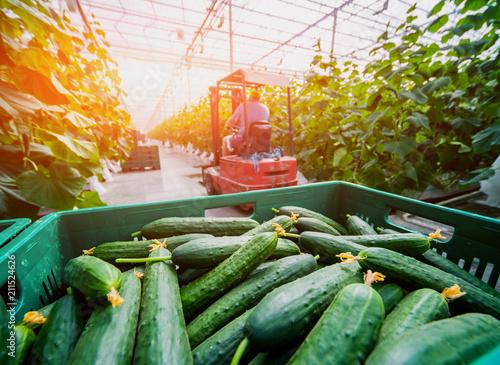 Long green cucumbers in a boxes. Greenhouse. Fototapeta