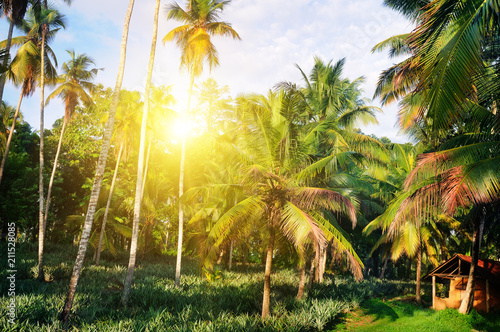 Staande foto Tuin Tropical garden with coconut palms and a pineapple plantation. Shri Laka