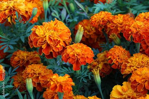 Pinturas sobre lienzo  field of orange flowers of the Barchans