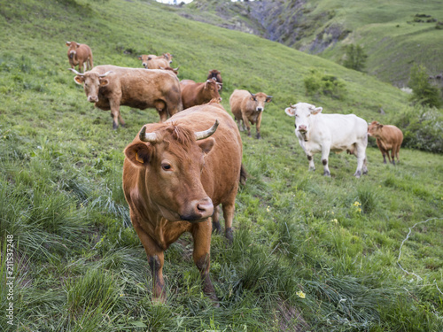 Tuinposter Olijf brown cows in mountain meadow near col de vars in french alps of haute provence
