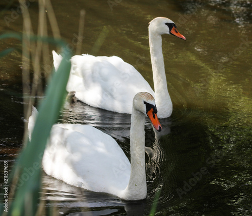 Tuinposter Zwaan Couple mute swan (Cygnus olor) swimming in lake