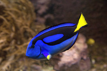 Blue Tang Or Regal Tang Or Pal...