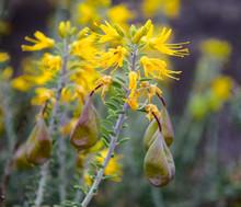 Brilliant Yellow Bladderpod Blooms
