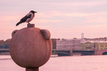 Hooded Crow Overlooks Neva River