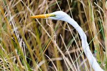 Close Up Of A White Long Necked Great Egret Walking Through Tall Grass In The Field