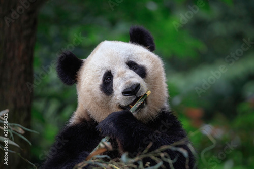 Panda Bear Looking at the viewer while eating some fresh Bamboo for lunch Canvas Print