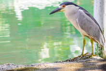 Black Crowned Night Heron Standing By A River In St. Ann, Jamaica