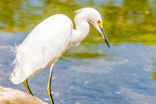 The Great Egret/ Great White E...