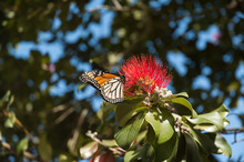 Monarch Butterfly Feeding On T...