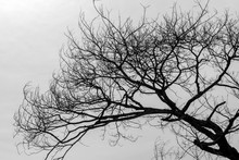 Silhouette Background, Dry Branches And Cloudy Skies.