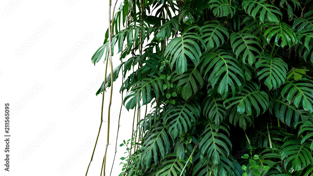Fototapeta Green leaves of native Monstera (Epipremnum pinnatum) liana plant growing in wild climbing on jungle tree, tropical forest plant evergreen vines bush isolated on white background with clipping path.
