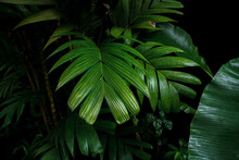 Tropical Palm Leaves And Rainforest Foliage Plants Bush Growing In Wild On Black Background.