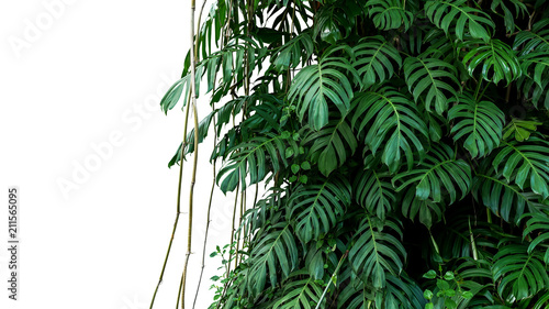 Cuadros en Lienzo Green leaves of native Monstera (Epipremnum pinnatum) liana plant growing in wild climbing on jungle tree, tropical forest plant evergreen vines bush isolated on white background with clipping path