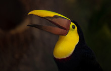 Yellow Throated Toucan Calls To Mate