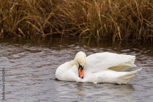 Deurstickers Zwaan Swan couple