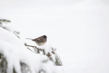 Fox Sparrow Bird Taking Cover ...
