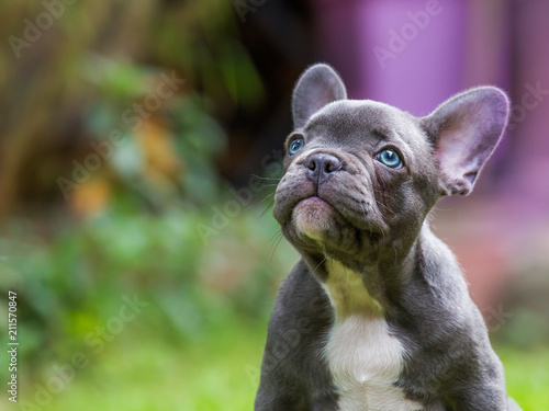 Fototapeta the portrait of a very young french bulldog
