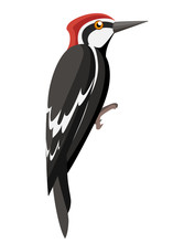 Woodpecker Bird. Flat Cartoon Character Design. Colorful Bird Icon. Cute Woodpecker Template. Vector Illustration Isolated On White Background