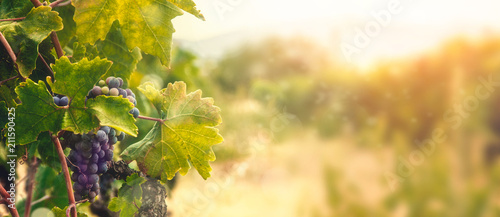Tuinposter Wijngaard Vineyard in autumn harvest