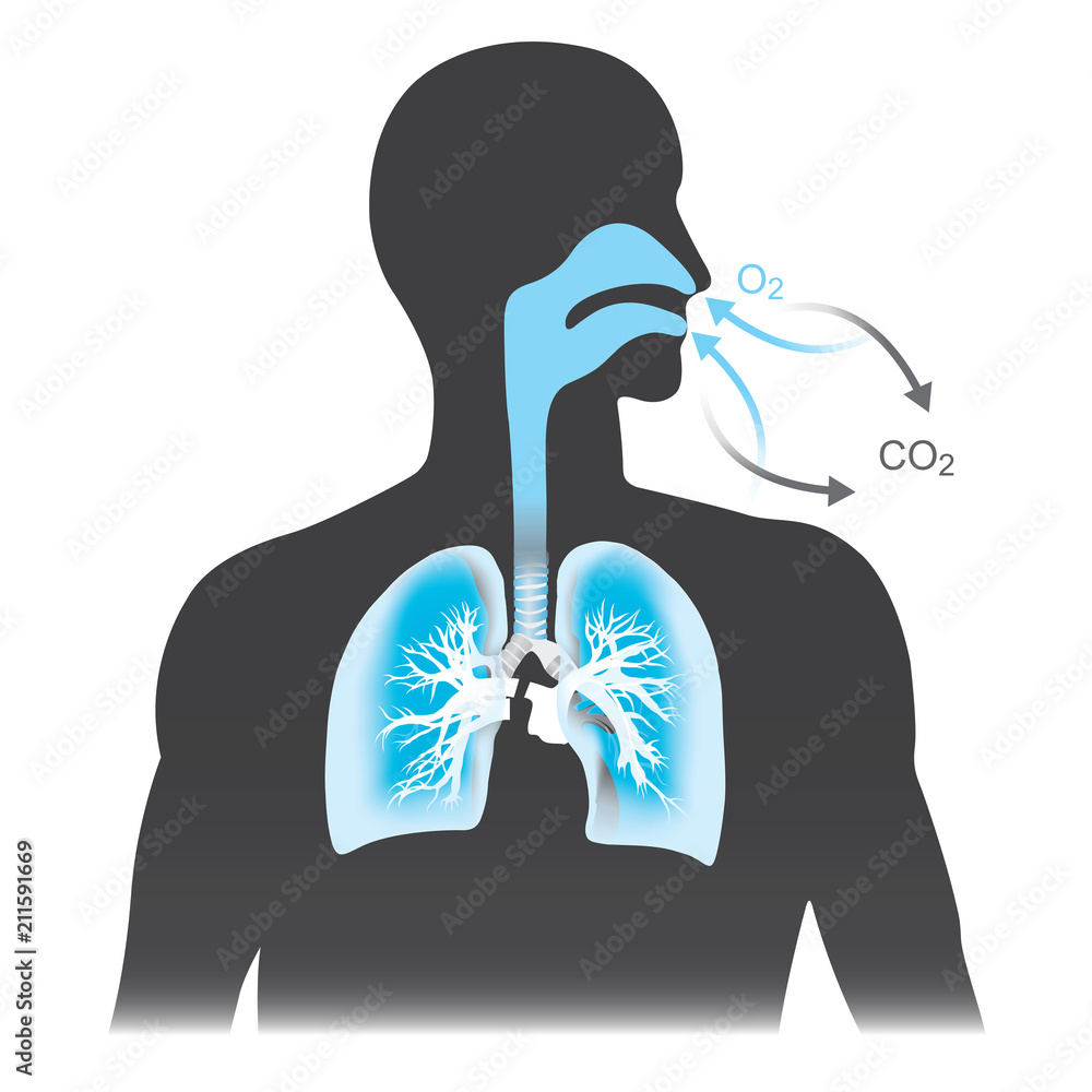 Fototapeta The lungs are the primary organs of respiration in humans. Mono tone black and blue colour.