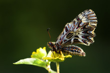 Southern Festoon Butterfly - Zerynthia Polyxena, Beautiful Colored Rare Butterfly From European Meadows And Grasslands.