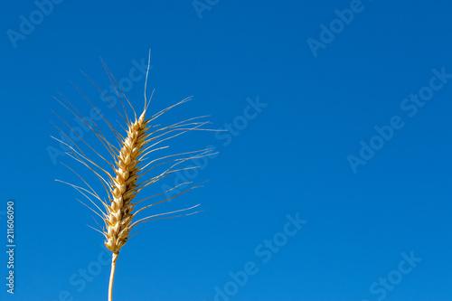 Fényképezés Golden ripe crop ear in front of blue sky in summer