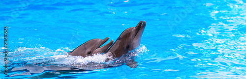 two dolphins in the pool, dolphinarium, banner Poster Mural XXL