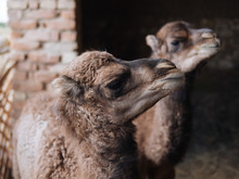 Young Baby Camels In Farm Barn
