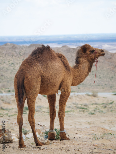 Hairy camel walking in terrain