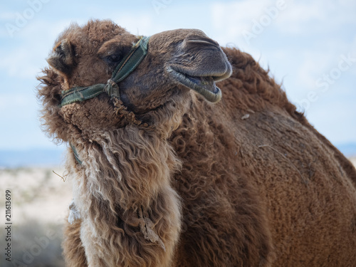Hairy camel close up