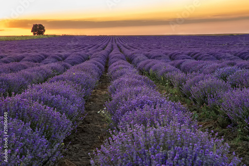 Beautiful landscape of blooming lavender field at sunset / sunrise