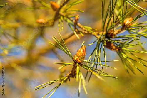 Valokuva  Scots pine, young, green shoots in spring