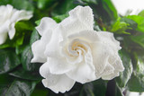 beautiful white flower gardenia on  green background