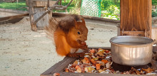 Little Squirrel Eats Nuts And ...