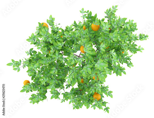 top view of orange tree with oranges isolated on white background