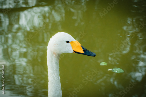 Keuken foto achterwand Zwaan Portrait of a white Swan