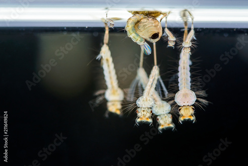 Fotomural  Mosquito larvae, Animals as carriers of diease disease was underwater with black background in Thailand