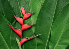 Paradise Heliconia Flower With Tropical Leaves Nature Background