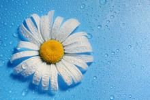 White Daisy On Blue Background...