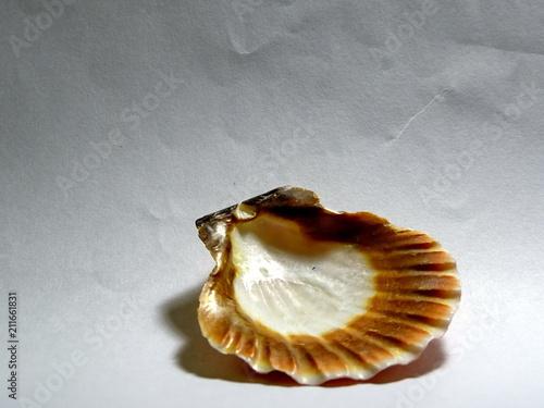 Fotografia, Obraz  Round cockleshell on white