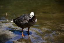 Anser Canagicus, Emperor Goose