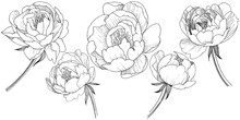 Peony Flower In A Vector Style...
