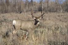 A Wyoming Mule Deer Buck Male Keeps An Eye On Me