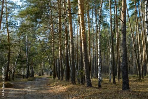 Fototapeta picturesque landscape of a pine forest obraz na płótnie