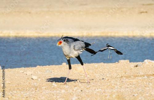 Photo  Secretary bird (Sagittarius serpentarius), walking in grassland