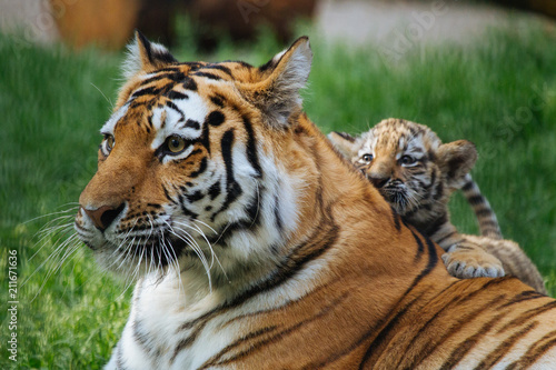 Tygrys syberyjski (Amur) gra z matką