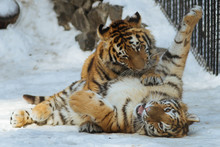 Siberian (Amur) Tiger Cubs Playing On The Snow