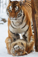 Siberian (Amur) Tiger Cub Play...