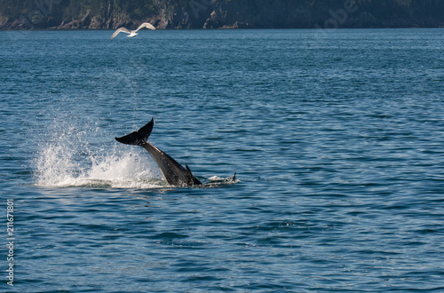 Fotografie, Obraz  Small orca violently swings its tail