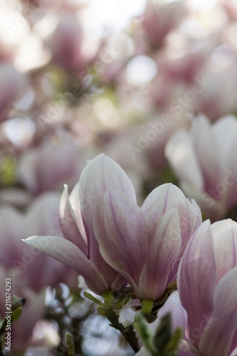 Poster Magnolia Magnolia soulangeana also called saucer magnolia flowering springtime tree with beautiful pink white flower on branches